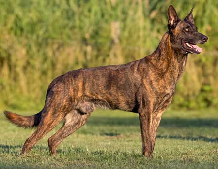 Dutch Shepherd Trained Security Dogs For Sale