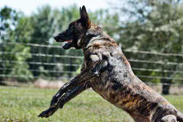 Buy Dutch Shepherd Dog Fully Trained