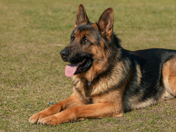 German Shepherds For Home Or Commercial Premises