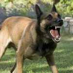 Trained Belgian Malinois For Sale