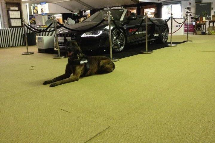 Boris Dutch Shepherd Guarding Property