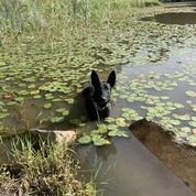 Henry Belgian Malinois In Water