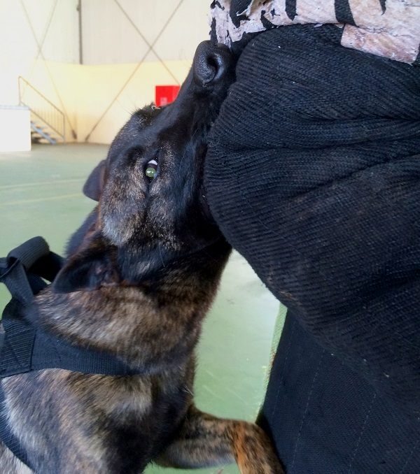 Izzy arm biting training