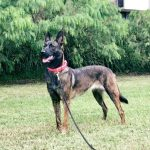 Mila - Female Dutch Shepherd Security Dogs