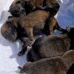 Specialist Canines Puppies